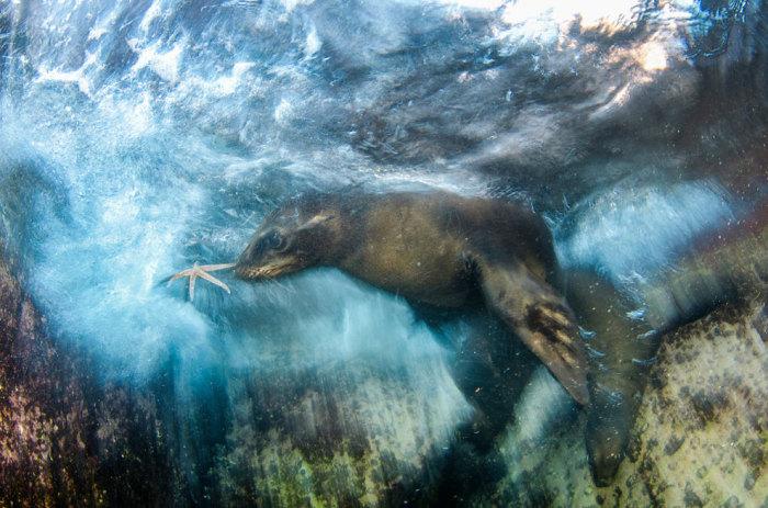 Морское животное в пучине играет с морской звездой. Фотограф Луис Хавьер Сандовал (Luis Javier Sandoval).