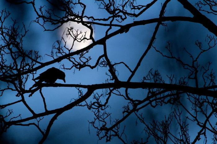 Черный ворон в синеве ночи при лунном свете. Фотограф Гидеон (Gideon Knight).