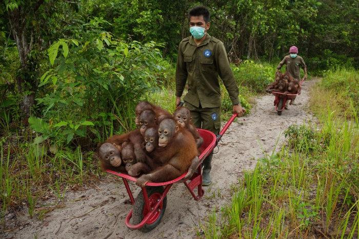 Спасатели помогают орангутангам, которые пострадали от пожаров в лесу, переселиться на новые места обитания. Фотограф  Тим Ламан (Tim Laman).