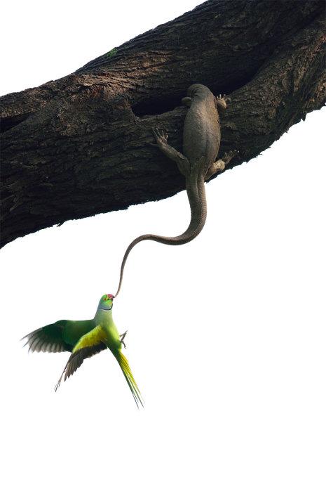 Радужный попугай обнаруживает у себя дома незваного гостя-варана и всеми возможными силами пытается не допустить до своего места обитания. Фотограф Ганеш Шанкар (Ganesh H. Shankar).