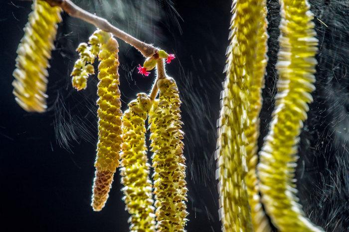 Сережки от ореха колышутся от ветра и взмахов крыльев невидимой птицы. Фотограф Вальтер Бинотто (Valter Binotto).