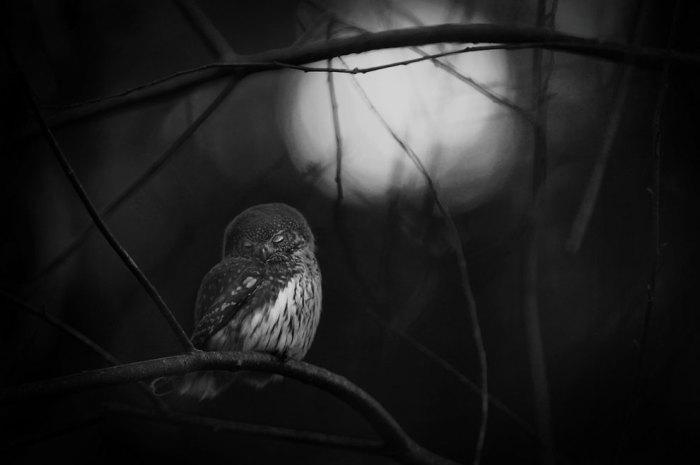 Черно-белая фотография птицы,которая  засыпает на голых ветках в первых лучах луны. Фотограф Матс Андерссон ( Mats Andersson).