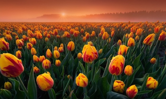 3-е место в спецкатегории от EPSON присуждено нидерландскому фотографу Альберту Дросу (Albert Dros) за снимок поля с двухцветными тюльпанами.