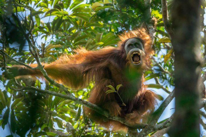 Без навыков выживания орангутанги проводят жизнь в реабилитационных центрах.