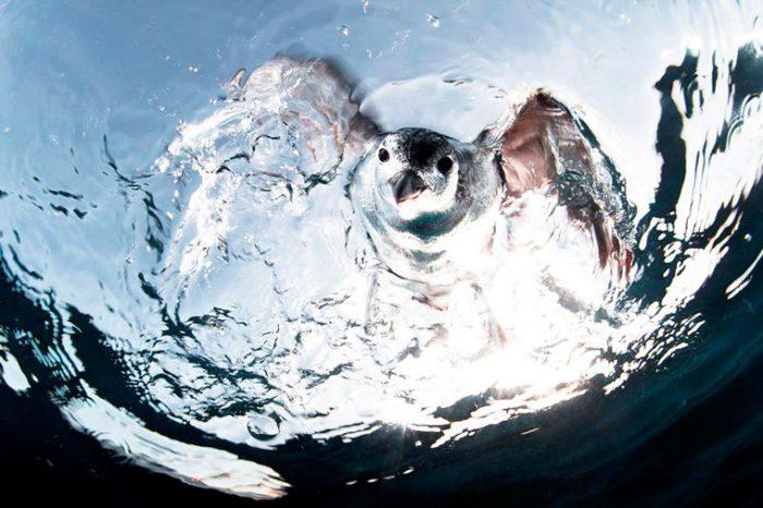 Охотящийся на рыбу гавайской буревестник. Фотограф:  Alejandro Prieto.