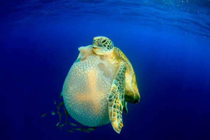 Морская черепаха, которая ест медузу, Симиланские острова, Таиланд. Фотограф: Richard Carey.