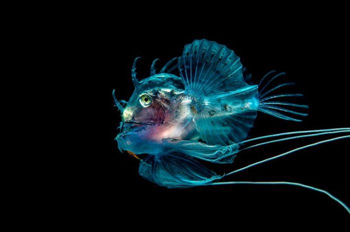Свое название европейский удильщик, или морской черт получил благодаря очень непривлекательной внешности. Фотограф: George Stoyle.