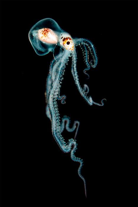 Маленький осьминог на Гавайях. Фотограф: Helen Brierley.