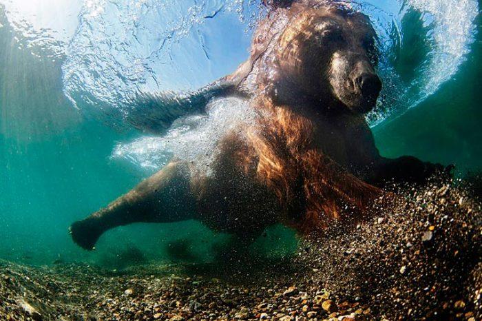 Купания медведя в водах Курильского озера. Фотограф: Mike Korostelev.