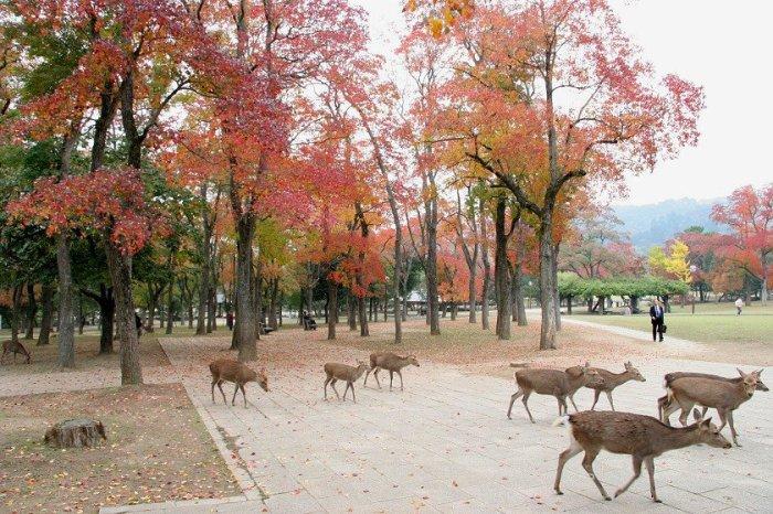 В парке Нара обосновались сотни диких оленей, являющихся и главным символом города.