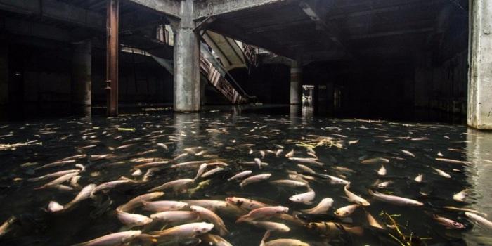 В водах бывшего торгового центра обитает несколько тысяч особей.