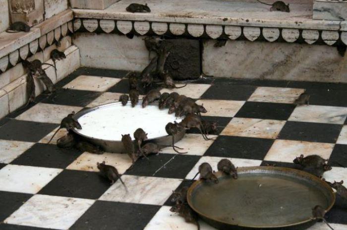 Священные крысы Каба живут в храме Карни Мата в деревеньке Дешнок недалеко от Биканера.