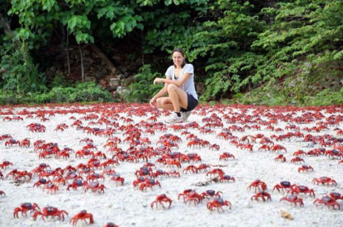 Во время брачного периода, остров весь покрыт крабами, количество которых превышает сотню миллионов особей.