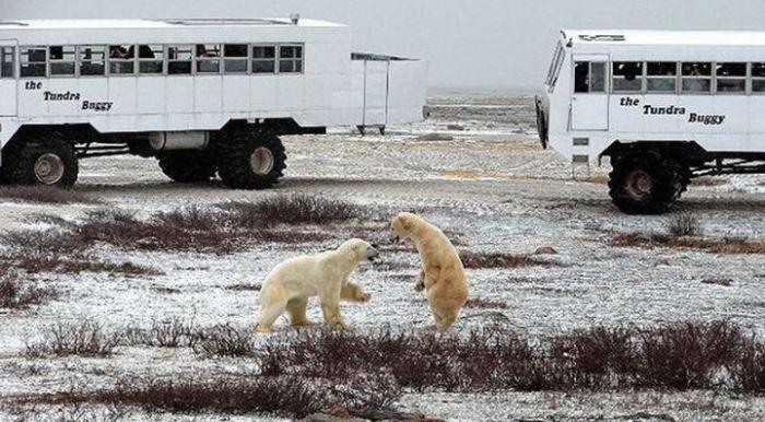 В Канадском арктическом порту Черчилл обитает большая популяция белых полярных медведей.