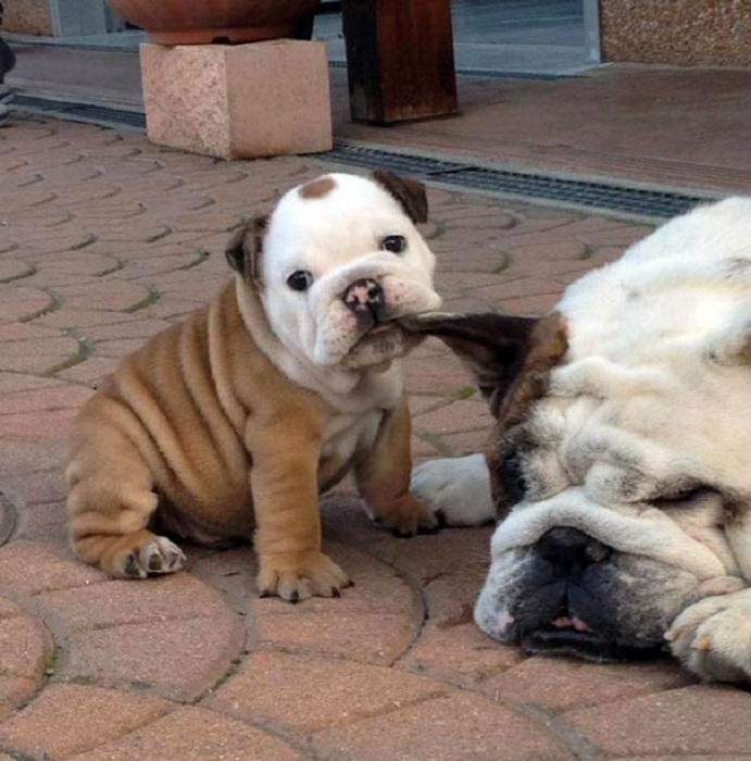 Пытается разбудить маму теребя ее за ухо.