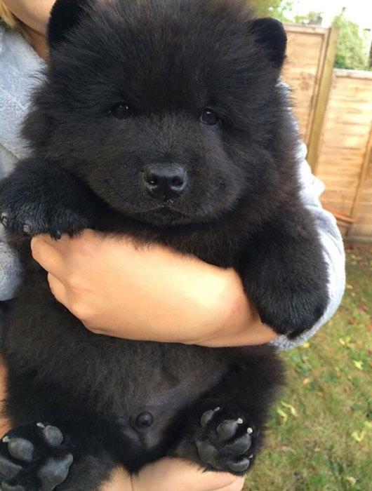 Глядя на такую фотографию, родство собак с медведями не вызывает сомнения.
