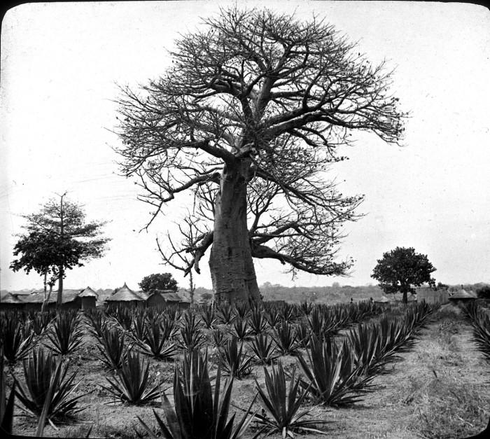 Один из видов растений, получивших широкое применение в сельском хозяйстве.