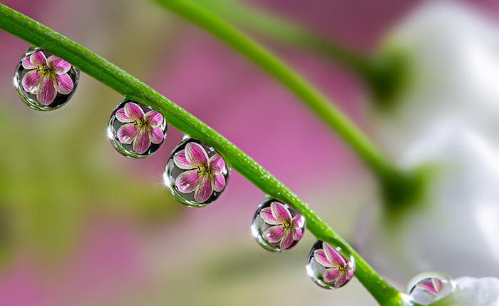 Сиреневы цветы отражаются в каплях росы, которые стекают по стеблю.