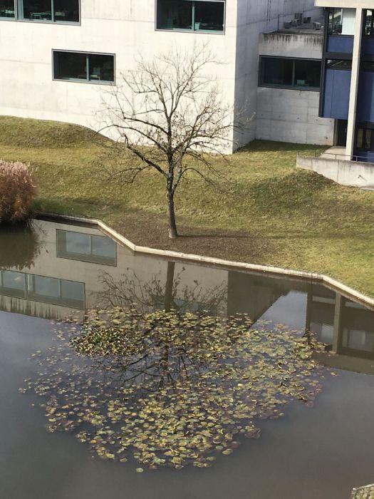 Оголенное дерево отражается в листве кувшинок.