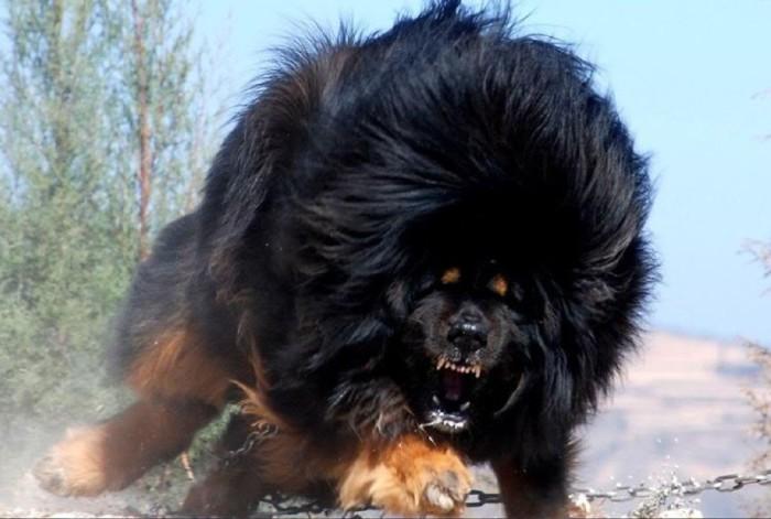 Древняя порода собак, которая отличается необычайной выносливостью, крепким здоровьем, а также суровой красотой.