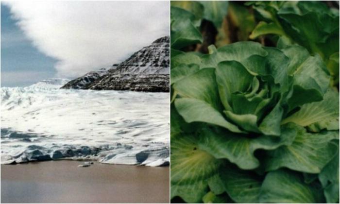 Самое распространённое растение — кергеленская капуста.