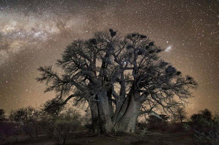 Дерево, утопающее в красоте мерцания звёздного неба.
