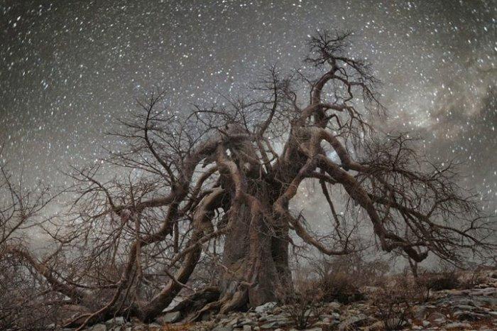 Вся красота огромного дерева на фоне ярких звезд на небе.