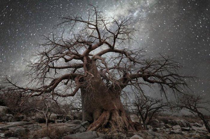 Звёздное небо, оттеняющее всю красоту старого дерева.