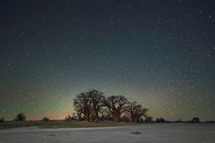 Огромные деревья сливаются с таинственной красотой ночного звёздного неба.