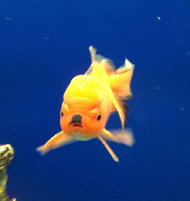 Рыбки тоже умеют злиться.