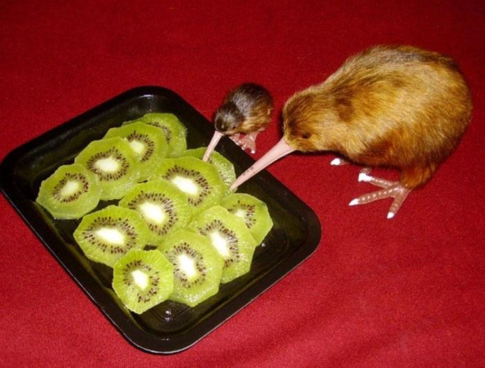 Безкилевая птица киви ест фрукт, который покрыт волосинками напоминающими её перья.