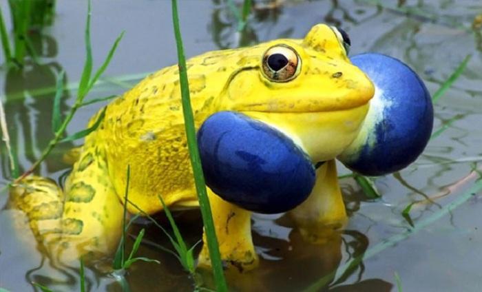 Одна из крупнейших видов земноводных семейства настоящих лягушек.