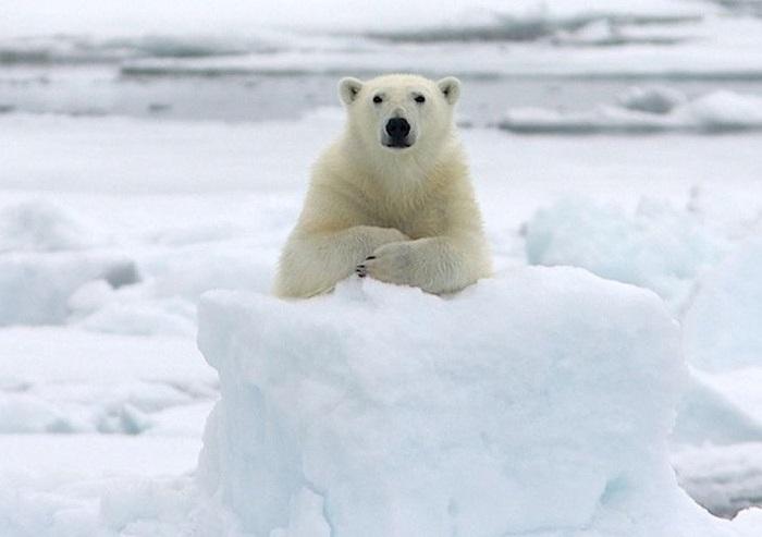 Белый медведь, как абсолютный профессионал даёт интервью.