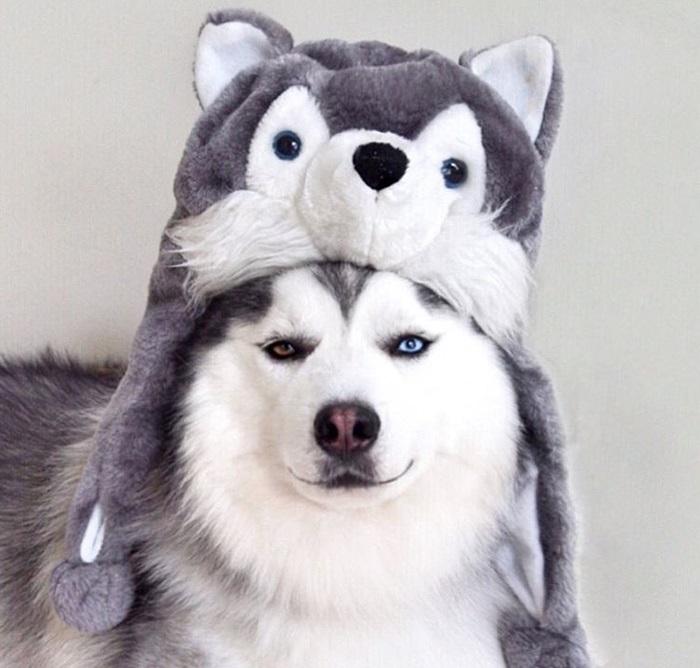 Я самый страшный хаски-волк.