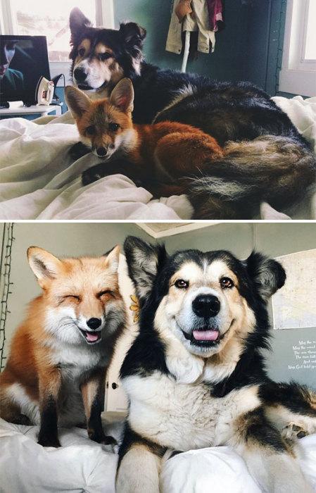 Дружба между псом и лисой.