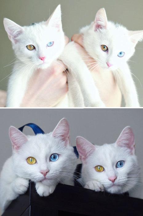 Кошки-близняшки с разными глазами.