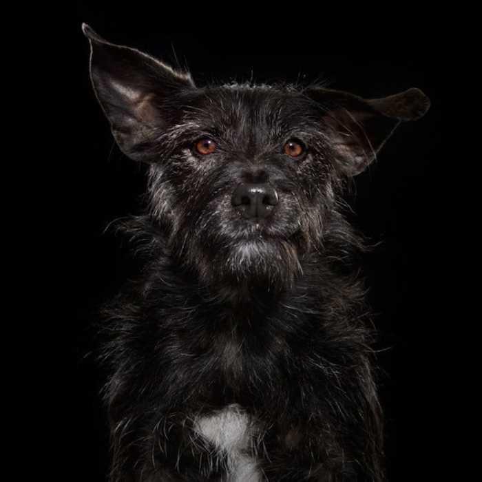 Эмоциональные портреты черных собак показывают уникальную индивидуальность каждого животного.