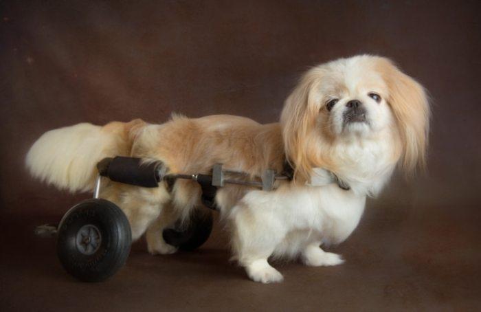 Любительница животных Стенси Гэммон (Stacey Gammon), которая снимает собак «в возрасте», уверена, что любовь и преданность не стареют.