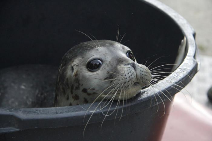 Молодой тюлень в одном из зоопарков Германии.