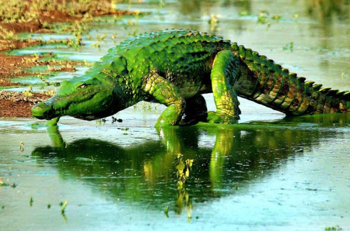 Покрытый зелёными водорослями крокодил, Национальный парк Крюгера, Южная Африка.