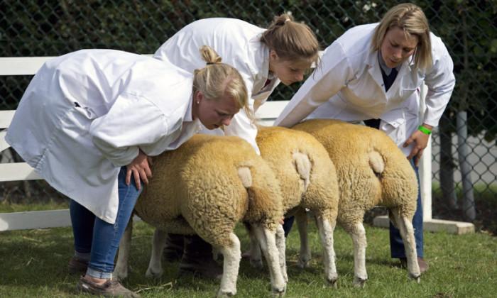 Овцы во время ветеринарного осмотра.