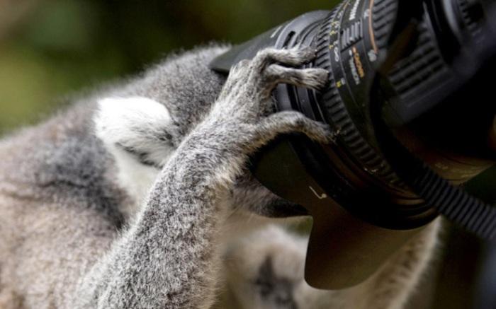 В Эдинбургском зоопарке, Шотландия лемуру разрешили рассмотреть фотоаппарат.