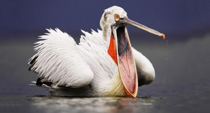 Пеликан во время охоты на озере Керкини, Греция.