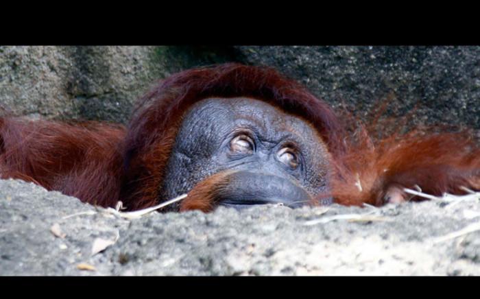 Орангутанг в своём вольере, зоопарк в штате Миссисипи, США.