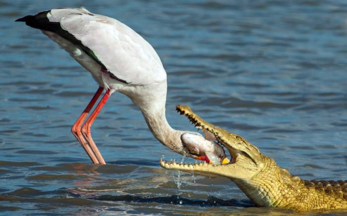 Добыча крокодила, Танзания.