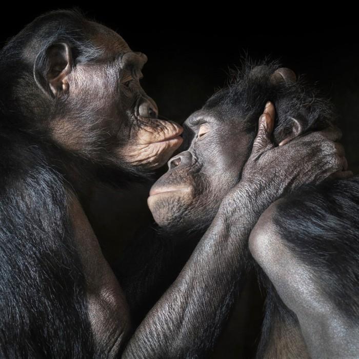 Шимпанзе самый близкий к человеку сохранившийся вид современных приматов, обитающих во впадине Конго и в Центральной Африке.