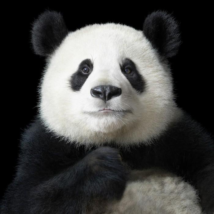 «Элегантная» панда-красавица, в центре исследования больших панд в Чэнду, который успешно размножил 120 больших панд из шести особей, спасённых в 1987 году.