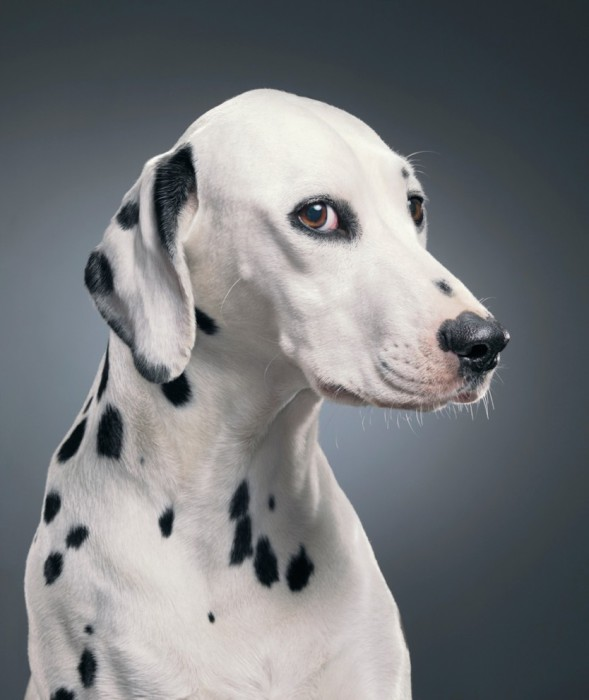 Собака, имеющая в окрасе пятна и очень похожа на современных далматинов.