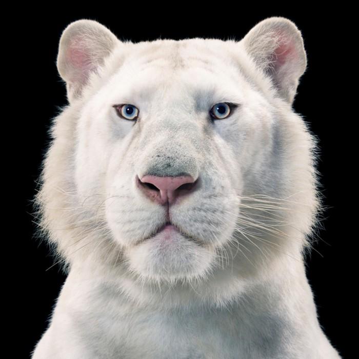 Взгляд животного пронизывает зрителя насквозь.