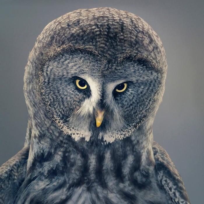 Бородатая неясыть - очень крупная темноокрашенная птица с большой головой без «ушей», круговой концентрической окраской лицевого диска и темной «бородой» под клювом.